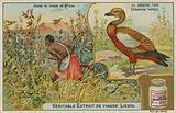 Ruddy Shelduck; duck hunting in Africa