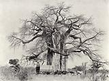 Cream-of-Tartar Tree