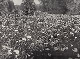 Field of Arums, Claremont