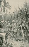 Trinidad Coolies at Work in a Cane-Field