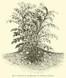 Subterranean Branches or Tubers of Potato