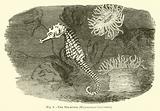 The Sea-horse, Hippocampus brevirostris