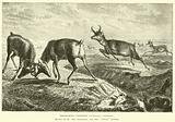 Prong-horn Antelope, Antilocapra Americana