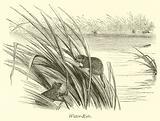 Water-Rats