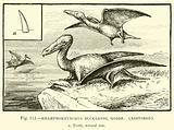 Rhamphorhynchus Bucklandi, Goldf, restored