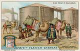 Transporting naptha by camel at Baku
