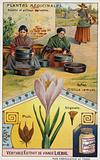 Saffron: harvesting and roasting of crocus stigmas