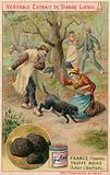 France (Perigord): black truffle (Tuber cibarium)