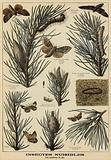 Insects harmful to pine trees
