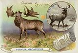 Megaloceros and red deer