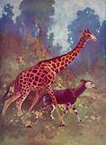 Okapi and giraffe
