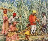 Cutting sugar cane in Jamaica