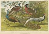 Peacock and pheasants