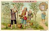 The tea harvest