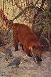 Red Coati