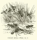 Syrian Ants, Prov, vi, 6