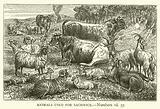 Animals used for Sacrifice, Numbers, vii, 57