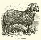 Syrian Sheep