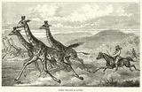Baker chassant la giraffe