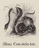 (Boa) Constrictor
