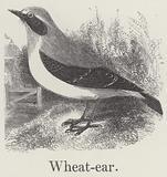 Wheatear