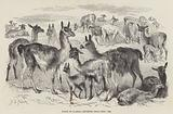 Flock of Llamas, imported from Peru, 1858