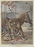 Feroce Combattimento Tra Una Tigre E Un Leone A Firenze