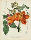 The Bell-Flowered Spathodea, Spathodea Campanulata