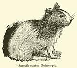 Smooth-coated Guinea-pig