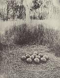 An Emu's Nest