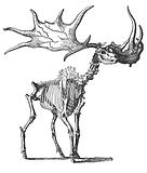 The Irish Elk (Megaceros Hibernicus)