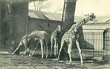 Giraffes, London Zoo