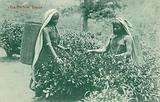 Two women picking tea, Ceylon