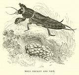 Mole Cricket and Nest