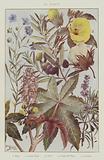 Oli plants