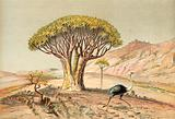 The great trees: aloe of Damaraland, South West Africa