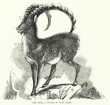 The Ibex, a Species of Wild Goat