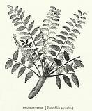 Frankincense, Boswellia serrata