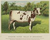"""Ayrshire Heifer """"Nellie of Barcheskie"""""""