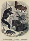 The Thirteen-Striped Spermophile, The Alpine Marmot, The Bright Pteromys, The American Flying Squirrel, The Common Squirrel