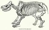 Skeleton of the Rhinoceros