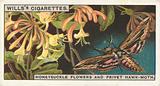 Honeysuckle flowers and Privet Hawk-moth