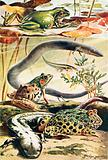 Six typical amphibians