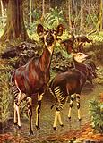 The okapi in the forest