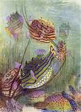 The Coffer Fish of the Coral Seas