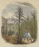 The Sugar Plantation