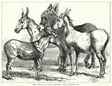 Prize Donkeys at the Crystal Palace Show