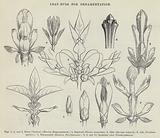 Leaf-Buds for Ornamentation