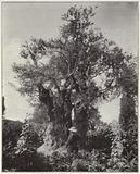 Jerusalem, Gethsemane, Garden, an olive tree