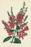 Combretum Purpureum